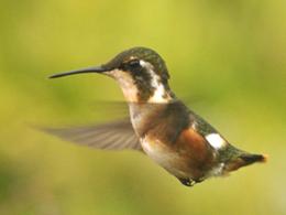 Observación de aves en Parque Nacional Bahuaja Sonene
